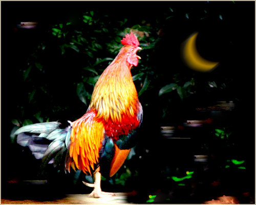 Kết quả hình ảnh cho gà gáy